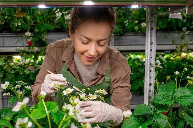 온실에서 딸기 묘목 위로 구부리는 장갑을 낀 여성 농부