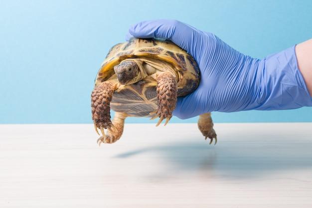 수의사의 장갑을 낀 손이 검사를 위해 육지 거북이를 안고 있습니다.