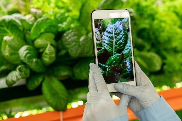 채소 작물이 있는 선반 사진을 찍는 동안 녹색 시금치 묘목 앞에 스마트폰을 들고 수직 농장 노동자의 장갑을 낀 손