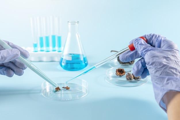 장갑을 낀 손은 페트리 접시에서 화학 연구를 수행합니다.