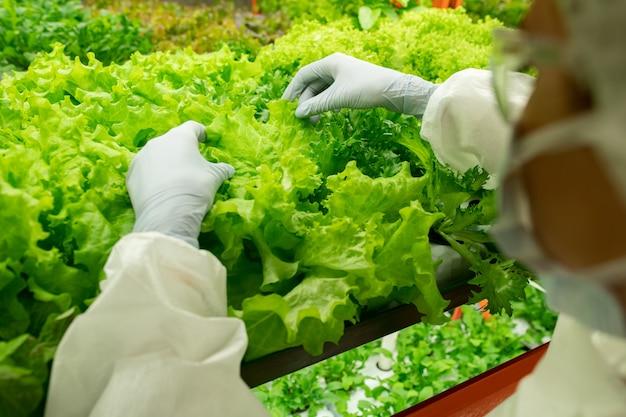 품질 검사 동안 상단 선반에서 자라는 녹색 상추 묘목 위에 현대 수직 농장의 작업자의 장갑을 낀 손