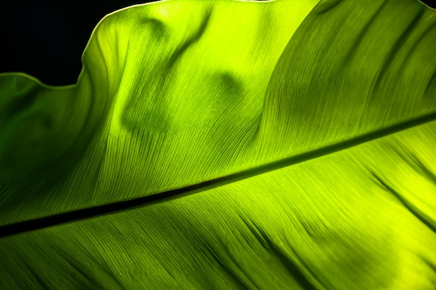 Glow green fern leaf in closeup with a beautiful light from behind extolling its beauty