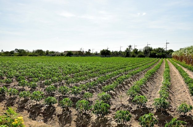 Glowing of cassava plantation  and the blue sky background
