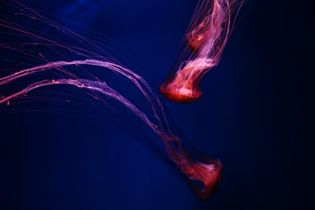 Glowing orange jellyfish chrysaora pacifica on deep phantom blue