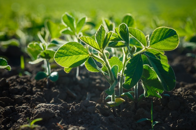 Glycine max, soybean, soya bean sprout growing soybeans on an industrial scale