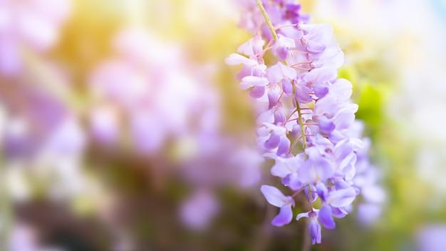 Glycine wisteria flower