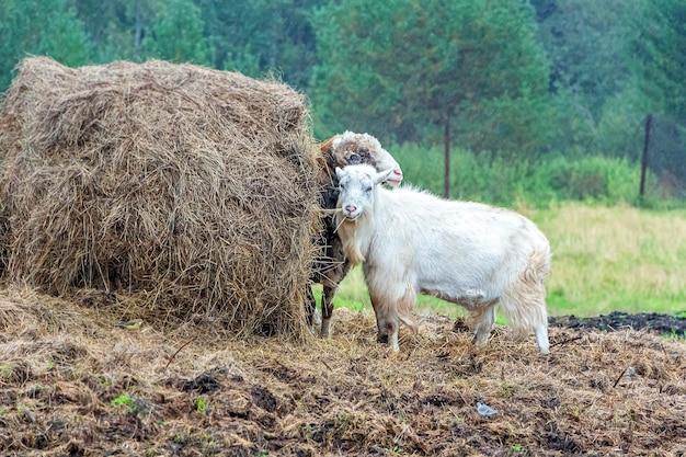 干し草の山の近くでヤギとラムの餌