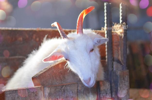 Goat breeding farm. portrait of white goat.