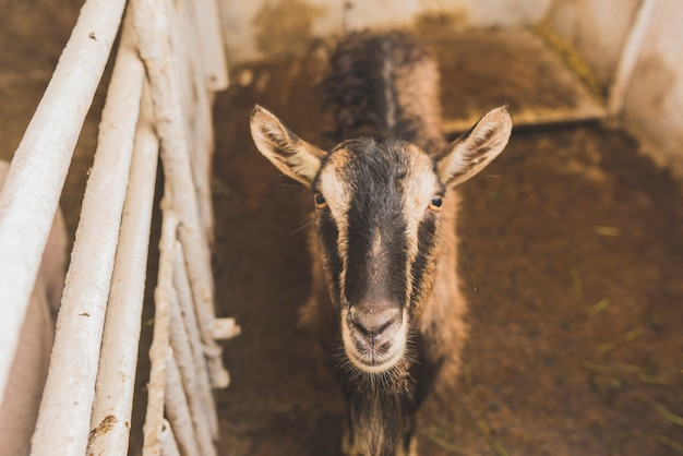 Goat in cage on farm