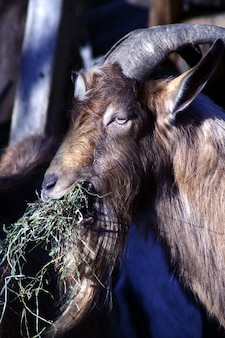 A goat eating hay