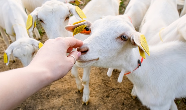 Goat farm. livestock and breeding animals in the countryside. rearing animals for milk and meat