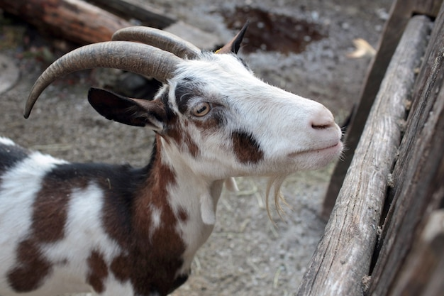 Goat in the farm near the wooden fence