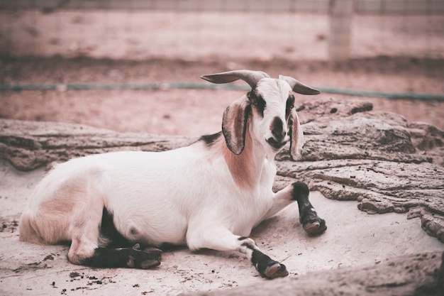 Goat in the farm