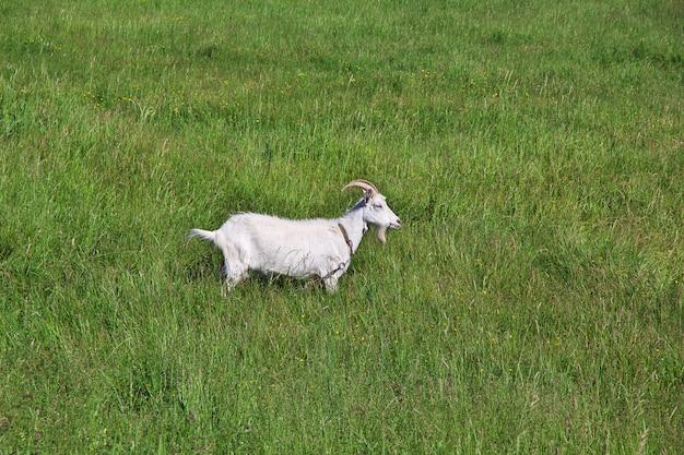 The goat on field in belarus