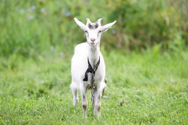 Goat grazes on a green meadow