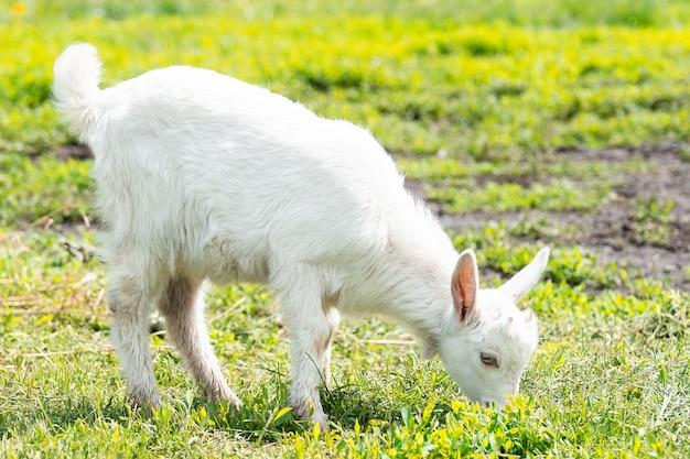 A goat grazes on a green meadow