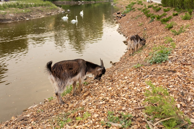 A goat grazes on the lake in a city park