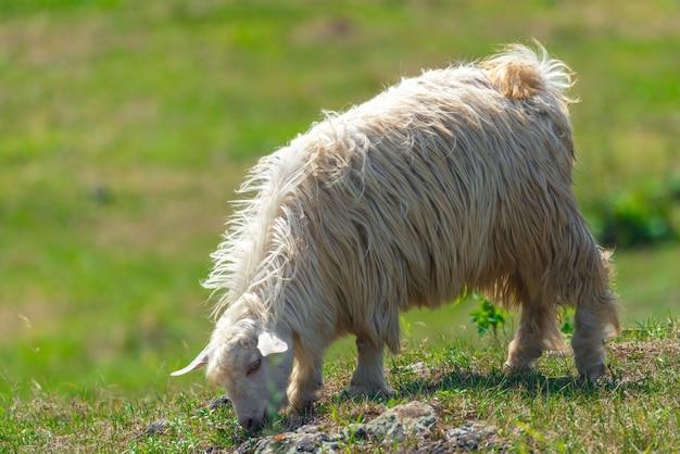 緑の牧草地でヤギがかすめる