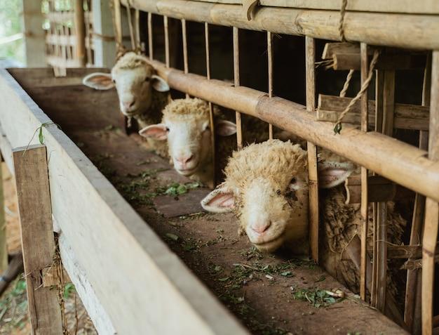 Козьи головы выходят из клетки и смотрят в камеру в загоне для крупного рогатого скота
