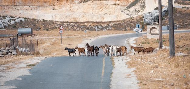 키프로스의 시골 지역에 있는 염소 떼 횡단 도로