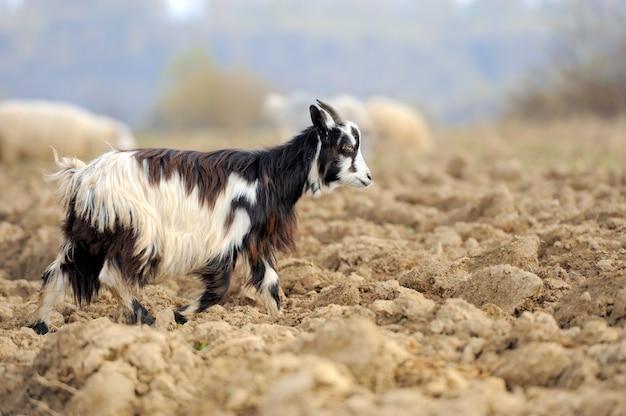 牧草地のヤギ。ヤギ飼い