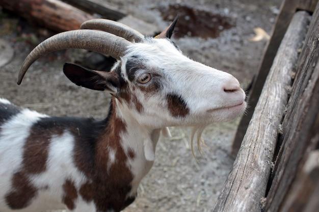 木製の柵の近くの農場のヤギ