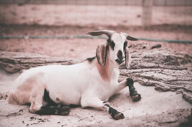 農場のヤギ