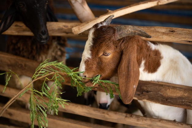 Goat is eating green leaves.