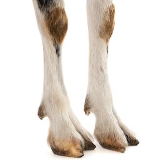 ヤギの足と足の白