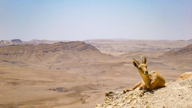 ヤギはイスラエルのアラバ砂漠にあります。