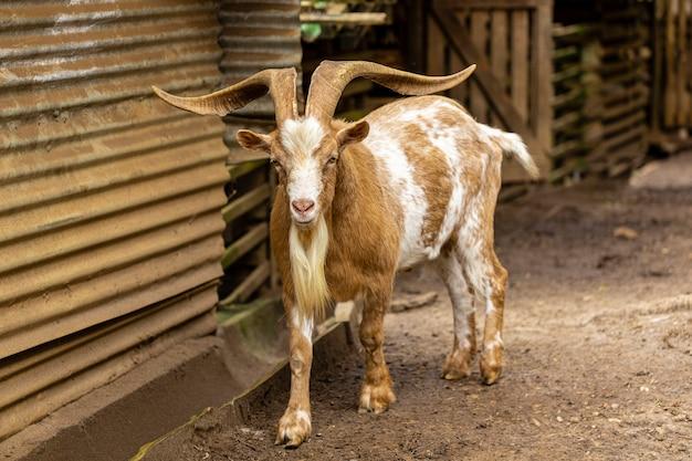 Коза свободно гуляет по ферме, свободно гуляет по местности.