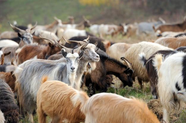 Goat in meadow. goat herd