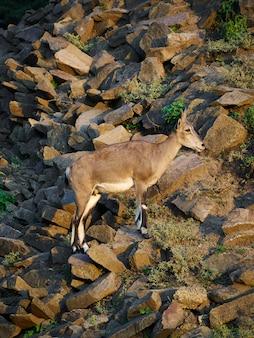 Коза горы камни свет зоопарк копыта рога