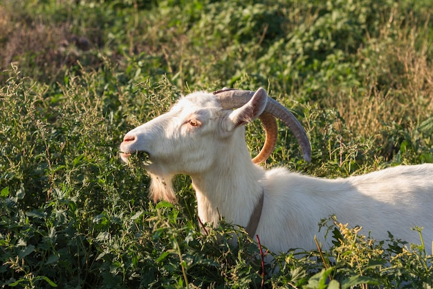 Goat in nature eating grass
