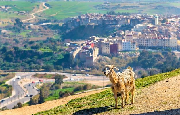 Коза возле гробниц маринидов в фесе - марокко