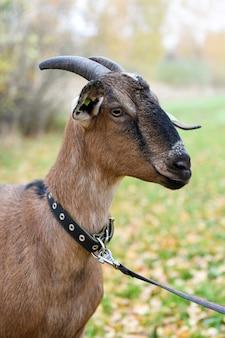 가을 배경의 마을에서 누비아 품종의 염소
