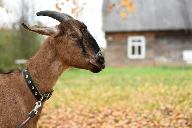 ヌビア種のヤギが村の家の近くに立っています