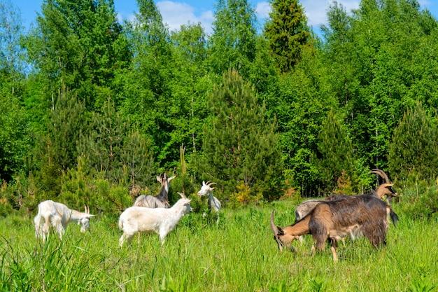 염소 애완 동물은 녹색 초원에서 풀을 뜯고 있습니다. 농장의 애완 동물.
