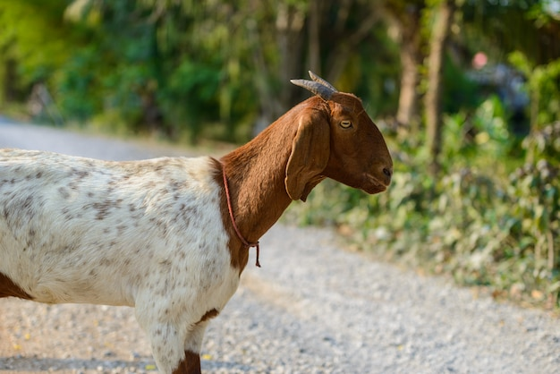 Goat portrait on the road