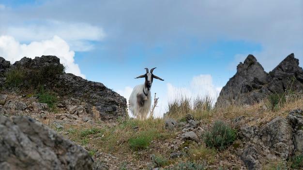 Коза стоит на поле, сардиния, италия