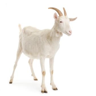 Коза стоя на белом фоне