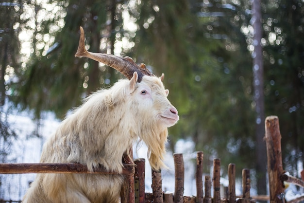 Goat in the winter
