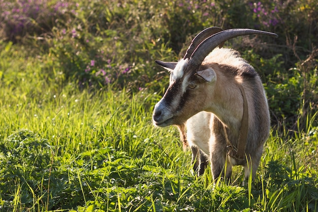 Goat with big horns in nature