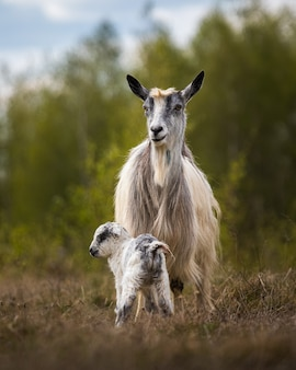 Goat with her calf in the wild