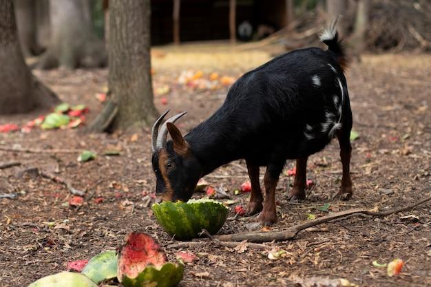 Коза с рогами ест пищу. рогатое животное