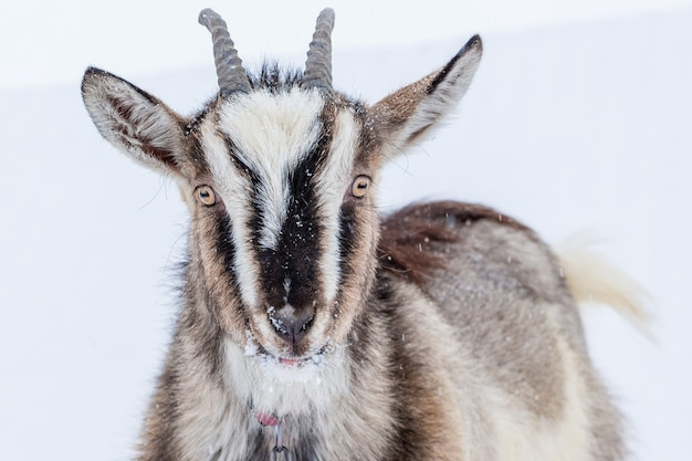 白い雪の背景に角を持つヤギ_