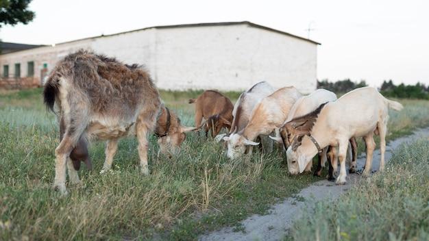子供とヤギは牧草地で放牧します