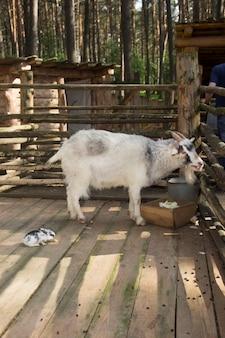 Коза с кроликом в деревянном вольере