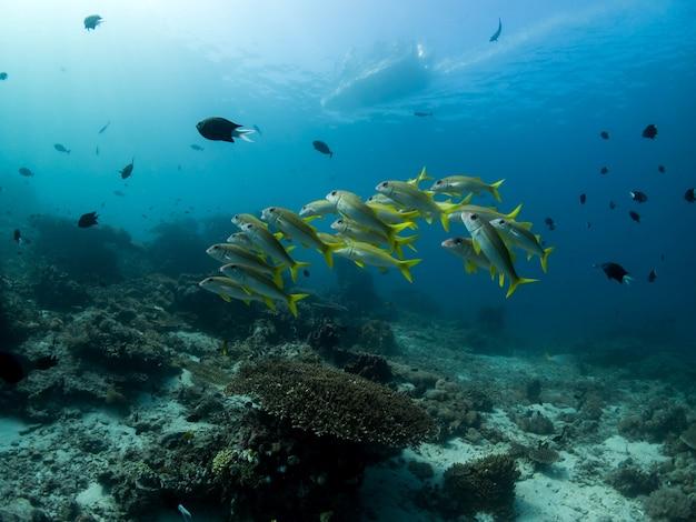 Goatfish in coral reef