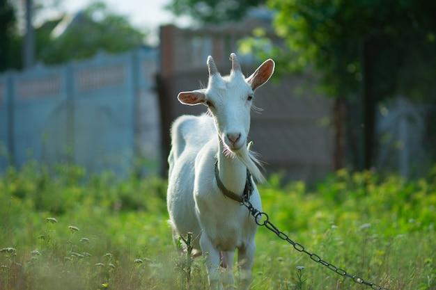 ヤギは牧草地で放牧されています。日没時に放牧するヤギ。牧草地で放牧している国産ヤギ